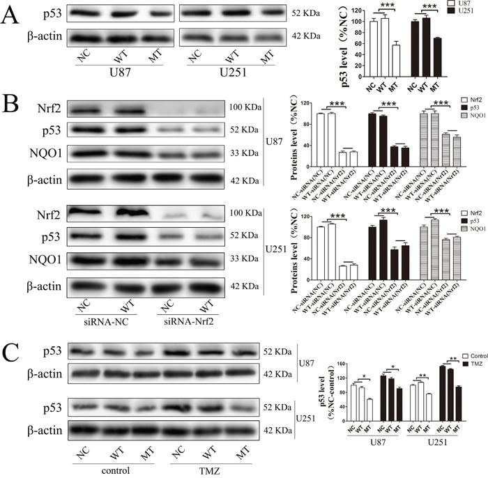 P53 was involved in the resistance mechanism of temozolomide mediated by Nrf2 and NQO1 P53 was significantly decreased in MT groups (A) . Levels of NQO1 and P53 were decreased when Nrf2 expression was reduced by siRNA-Nrf2 (1) in NC and WT over-expression cells (B) . After treated by 400 μM TMZ for 72 h, p53 was activated in NC, WT and MT groups, and p53 levels in MT groups were still lower than those in other groups (C) . *P
