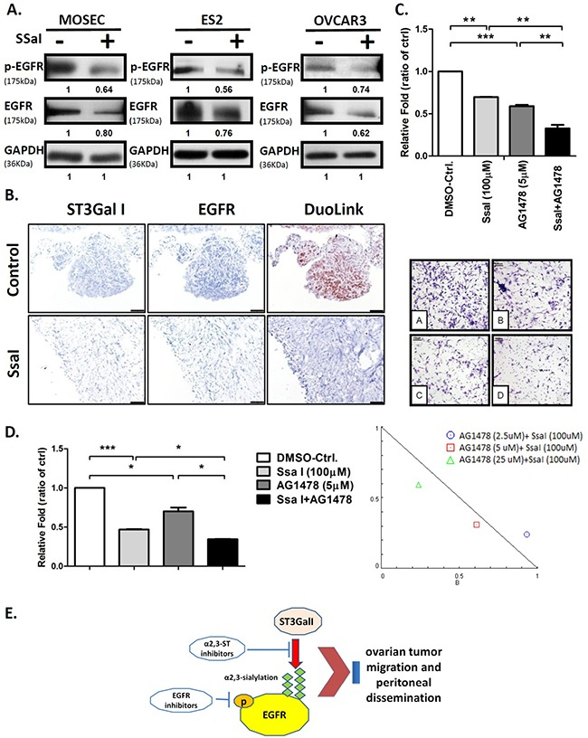 α2,3-sialylation inhibitor SsaI affects EGFR signaling and synergizes with TKI (A) Quantification of EGFR and phospho-EGFR in ES2 cells treated with 100μM SSaI or DMSO control for 72h; GAPDH was used as control (same GAPDH as in Figure 3 ). (B) Intraperitoneal tumors from B6 mice treated with either SsaI or DMSO control were stained by the Duolink in situ IHC staining kit to analyze for ST3GalI and EGFR. (C) ES2 cells were treated with 100μM SsaI and 5μm AG1478 (EGFR inhibitor) were subjected to Transwell matrigel invasion assay. Total numbers of cells were counted in 7 to 10 random fields. Data shown are the mean ± SD of 3 separate experiments. (D) Synergy between ST3GalI and EGFR were determined by treating ES2 cells with either SsaI orAG1478 (EGFR inhibitor) or both for 48h followed by determination of their effects on cell proliferation rate. Data shown are the mean ± SD of 3 independent experiments. (E) A proposed mechanism of the interaction between ST3GalI and the EGFR signaling pathway.
