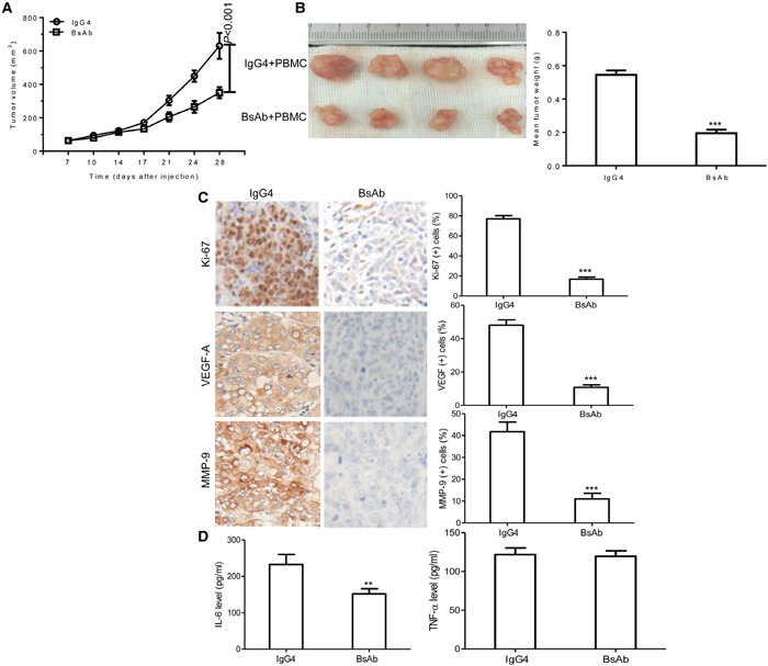 BsAb inhibits tumor development and chronic inflammation in vivo (A) Xenograft studies were performed using 5-6 week old male NOD/SCID mice (n=4/per group), by subcutaneous injection of MKN45 cells (5 × 10 6 cells). Tumor volumes measured on indicated days were plotted for the BsAb treatment and control groups. (B) MKN45 tumor xenografts were stripped 4 days after the last treatment. (C) Semi-quantification of IHC was expressed as percentage of positively stained cells. Representative images of tumors from 5 fields randomly were counted (n=4/per group), showing Ki-67, VEGF-A, and MMP-9 (magnification: 400×). (D) Serum levels of IL-6 and TNF-α were measured by ELISA. The assays were repeated 2 times and each sample has 3 holes, data represent the mean ± SD of 4 individual mice per group. **: P