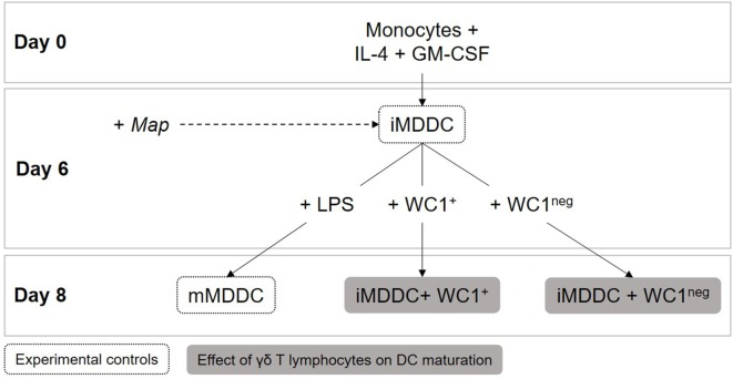 Dendritic cell maturation assays . Immature monocyte-derived dendritic cells (iMDDCs) were generated by adding IL-4 and GM-CSF to fresh monocyte cultures. After 6 days of differentiation, 1 × 10 6 sorted γδ T lymphocytes were added to wells containing 2 × 10 5 iMDDCs for 48 h (iMDDC + WC1 + and iMDDC + WC1 neg ). On day 6, live Mycobacterium avium subspecies paratuberculosis was added at a multiplicity of infection of 10:1 to evaluate if it affected iMDDC maturation after 48 h.