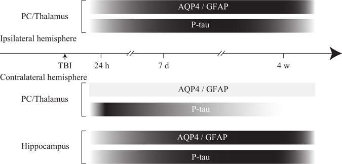 Approximate onset and duration of reactive astrogliosis, impairment of perivascular <t>AQP4</t> polarity and accumulation of p-tau in different brain regions following TBI. The horizontal bars intend to illustrate the approximate onset and extent of the changes in <t>GFAP</t> and p-tau immunoreactivities, and impairment of AQP4 polarity. The increase in shading intensity reflects an increased severity of these pathological changes.