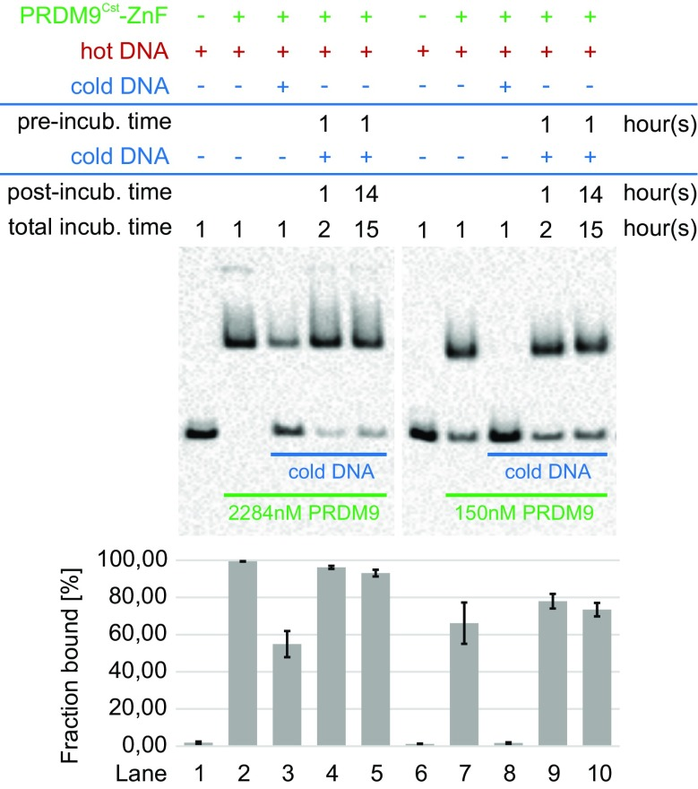 PRDM9-DNA-complex stability assessed with an EMSA competition assay. Different concentrations of the PRDM9 Cst -ZnF domain (2284 or 150 nM) were incubated with 10 nM of a biotinylated 75 bp DNA (hot Hlx1 B6 ) and a 100-fold excess of 39 bp competitor DNA without biotin (cold Hlx1 B6 ). The competitor was added to the hot Hlx1 B6 at different time points. Lanes 2 and 7 show the incubation of PRDM9 only with hot Hlx1 B6 . In comparison, lanes 3 and 8 represent the simultaneous incubation of PRDM9 with hot and cold Hlx1 B6 and lanes 4 + 5 and 9 + 10 show the pre-incubation of PRDM9 with hot Hlx1 B6 for 1 h before adding the excess cold Hlx1 B6 to the reaction, which was then stopped either after 1 or ∼14 h. The average percentage of hot Hlx1 B6 in the PRDM9-DNA complex (% fraction bound) was estimated as the ratio of pixel intensities of the shifted band to the sum of free and bound hot Hlx1 B6 . Error bars represent the standard deviation of two independent experiments. The length difference between hot and cold Hlx1 B6 was important for the proper blotting of the free hot Hlx1 B6 used to quantitate the complex (fraction bound [%])