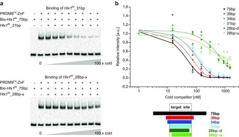 PRDM9 binding to different lengths of DNA. a In this competition EMSA, 250 nM PRDM9 Cst -ZnF (YFP tagged) was incubated simultaneously with hot (biotinylated) reference DNA (75 bp Hlx1 B6 ) and different ratios of excess cold Hlx1 B6 for 1 h (a time frame that showed unchanged complex amounts; Supplementary_Fig_ S4 ). We used for each experiment different lengths of cold DNA (75 bp , 39 bp , 34 bp , 31 bp , 28 bp-d , and 28 bp-u sequences are shown in Supplementary_Table_ S1 , section C ) representing truncations of the 75 bp Hlx1 B6 sequence. Shown are representative EMSAs for the cold competitors with 31 and 28 bp. The measurements were performed in triplicates for each cold competitor. b Intensities of the shifted bands are calculated relative to the reference PRDM9 Cst - Hlx1 B6 complex without the addition of cold DNA ( lane 2 ) and are plotted as relative intensities against the concentration of the cold competitor in a semi-logarithmic graph. 28 bp-d and 28 bp-u indicate 28 base-pair long fragments with truncations of three bases from the target binding site at either the downstream (3′ end) or the upstream (5′ end) end, respectively