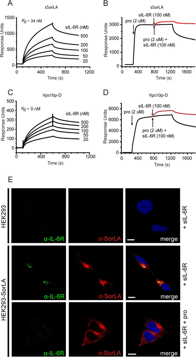 SPR analysis of the binding of sIL-6R to sSorLA and to the Vps10p-D of SorLA (A to D) and SorLA-mediated uptake of sIL-6R in cells (E). The concentration dependence of sIL-6R binding to immobilized sSorLA (A) and the SorLA Vps10p-D (C) was evaluated. The indicated K d values were calculated on the basis of the collected sums of data. The inhibition by SorLA propeptide (pro) of sIL-6R binding to sSorLA (B) and to the Vps10p-D (D) was also evaluated. SorLA was preincubated with a saturating concentration of propeptide (2 μM) prior to the injection of a mixture of propeptide (2 μM) and sIL-6R (100 nM). The response obtained with sIL-6R alone, i.e., the curve to be expected in the absence of inhibition, is indicated in each case in red. (E) Uptake of sIL-6R in SorLA-transfected and wt HEK293 cells. The cells were incubated (37°C, 30 min) at 250 nM sIL-6R in the absence or presence of 20 μM SorLA propeptide. The cells were then washed, fixed, permeabilized, and subsequently stained with mouse anti-IL-6R and rabbit anti-SorLA as primary antibodies and with Alexa Fluor 488-conjugated goat anti-mouse and Alexa Fluor 568-conjugated goat anti-rabbit antibodies as secondary antibodies. Scale bars, 10 μm.
