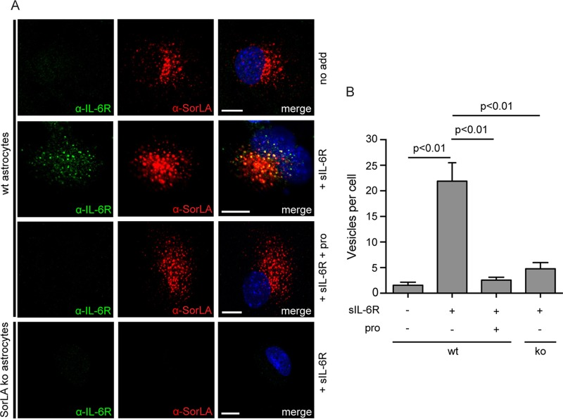 SorLA accounts for the uptake of sIL-6R in astrocytes. (A) Astrocytes isolated from wt and SorLA ko mice were incubated (37°C, 30 min) in unsupplemented medium or in medium containing 250 nM sIL-6R with or without 20 μM SorLA propeptide (pro) as indicated. The cells were washed, fixed, and permeabilized before staining with mouse anti-IL-6R, rabbit anti-SorLA antibodies, and the matching secondary antibodies. (B) Histogram showing the average number of sIL-6R positive vesicles found in each of nine randomly selected wt and SorLA ko astrocytes. Each column represents the mean value, and bars indicate the SEM. The data were evaluated using one-way ANOVA and Tukey's test. Scale bars, 10 μm.