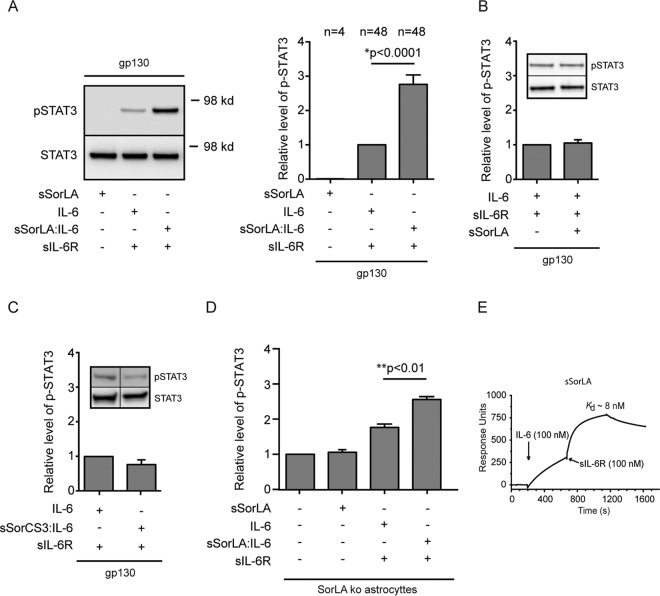 Soluble SorLA may stabilize IL-6 trans signaling. (A) BA/F3 cells expressing gp130 were stimulated (15 min, 37°C) as indicated, and the resulting levels of pSTAT3/STAT3 were determined by Western blotting of cell lysates. Prior to stimulation, sIL-6R (5 nM) and sSorLA (40 nM) were incubated separately (3 h, room temperature), whereas IL-6 (5 M) was preincubated alone or in combination with 40 nM sSorLA (sSorLA:IL-6). The left panel shows a Western blot of a representative experiment. The right panel summarizes results of several ( n ) experiments in which the pSTAT3 levels (measured by densitometry) were set relative to the level obtained in response to IL-6+IL-6R (assigned the value 1). Bars indicate the SEM, The P value was calculated using the Wilcoxon signed-rank test. (B) The same BA/F3 cells were stimulated (15 min, 37°C) as indicated, but in this case none of the reagents had been coincubated prior to stimulation. The relative pSTAT3 levels were determined as described above. The inset depicts a Western blot of a single experiment, and the histogram summarizes results of nine experiments. (C) pSTAT3 levels in the same cells and stimulated as for panel A except that sSorLA had been substituted with sSorCS3. The inset shows a Western blot of a single experiment, the histogram summarizes (as described above) results of five separate experiments. (D) pSTAT3 levels in SorLA ko astrocytes stimulated with preincubated reagents as for panel A. The columns represent mean values (± SEM, n = 3) relative to the pSTAT3 level in unstimulated astrocytes (assigned value 1). Data were evaluated by using one-way ANOVA and Tukey's test. (E) SPR analysis of the binding of sIL-6R to a preformed sSorLA:IL-6 complex. Immobilized sSorLA was initially exposed to IL-6 (100 nM) prior to the injection of fresh buffer containing 100 nM sIL-6R. The subsequent increase in response units signifies the binding of sIL-6R to the preformed sSorLA:IL-6 complex. The estimated K d is indicated.