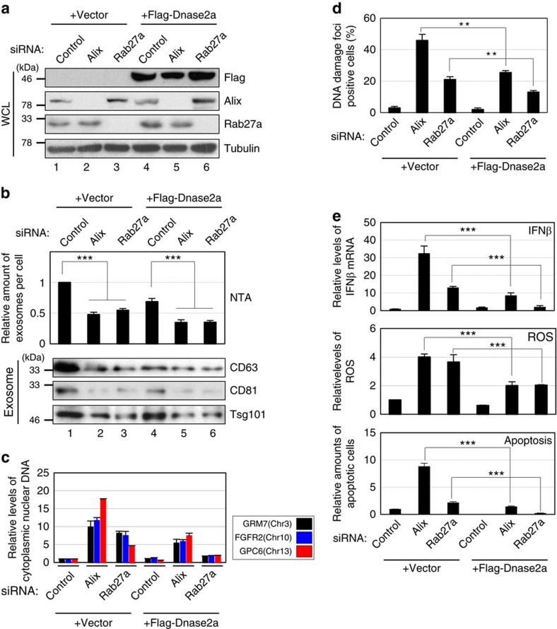 Overexpression of Dnase2a attenuated the effects of Alix or Rab27a knockdown in HDFs. Pre-senescent TIG-3 cells were infected with retrovirus encoding flag-tagged Dnase2a (lanes 4–6) or empty vector (lanes 1–3). After selection with puromycin, cells were transfected with indicated siRNA oligos and then subjected to western blotting using antibodies shown right ( a ), NanoSight analysis (NTA) for quantitative measurement of isolated exosome particles and western blotting using antibodies against canonical exosome markers shown right (exosome) ( b ), isolation of cytoplasmic fraction followed by quantitative PCR (qPCR) analysis of chromosomal DNA ( c ), immunofluorescence staining for markers of DNA damage (γ-H2AX [red], pST/Q (green) and 4′,6-diamidino-2-phenylindole (blue)) ( d ), qPCR analysis of IFNβ gene expression ( e ), analysis of intracellular ROS levels ( e ) or to apoptosis analysis at day 4 ( e ). Tubulin was used as a loading control ( a ). The histograms indicate the percentage of nuclei that contain more than 3 foci positive for both γ-H2AX and pST/Q staining ( d ). At least 100 cells were scored per group ( d ). The representative data from three independent experiments are shown. For all graphs, error bars indicate mean±s.d. of triplicate measurements. (** P