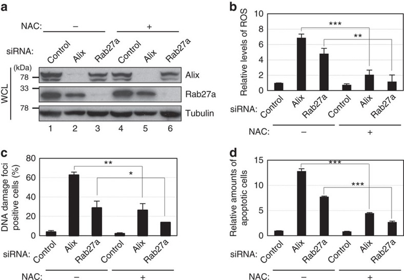 Reduction of ROS levels attenuated the effects of Alix or Rab27a knockdown in HDFs. Pre-senescent TIG-3 cells were transfected with validated siRNA oligos indicated at the top of the panel for two times at 2 day intervals in the presence or absence of 1 mM N -acetyl cysteine. These cells were then subjected to western blotting using antibodies shown right ( a ), analysis of intracellular ROS levels ( b ), immunofluorescence staining for markers of DNA damage (γ-H2AX (red), pST/Q (green) and 4′,6-diamidino-2-phenylindole (blue)) ( c ) or to apoptosis analysis ( d ). The histograms indicate the percentage of nuclei that contain more than 3 foci positive for both γ-H2AX and pST/Q staining ( c ). At least 100 cells were scored per group ( c ). The representative data from three independent experiments are shown. For all graphs, error bars indicate mean±s.d. of triplicate measurements. (* P