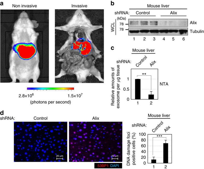 Inhibition of exosome secretion in mouse liver. ICR mice were subjected to hydrodynamic tail vein injection with plasmid encoding firefly luciferase or small hairpin RNA (shRNA) against Alix or control ( n =3 per group). After 48 h, the mice transfected with firefly luciferase were subjected to i n vivo bioluminescent imaging for confirmation of the transfection efficiency ( a ), and then other mice were euthanized and livers were subjected to western blotting using antibodies shown right ( b ), NanoSight analysis (NTA) for quantitative measurement of isolated exosome particles ( c ) or to immunofluorescence analysis of liver section ( d ). Tubulin was used as a loading control ( b ). Section of livers were subjected to immunofluorescence staining for markers of DNA damage (53BP1 (red) and 4′,6-diamidino-2-phenylindole (blue)) ( d ). The histograms indicate the percentage of nuclei that contain more than 3 foci positive for 53BP1 staining. At least 100 cells were scored per group. The representative data from three independent experiments are shown. For all graphs, error bars indicate mean±s.d. of triplicate measurements. (** P