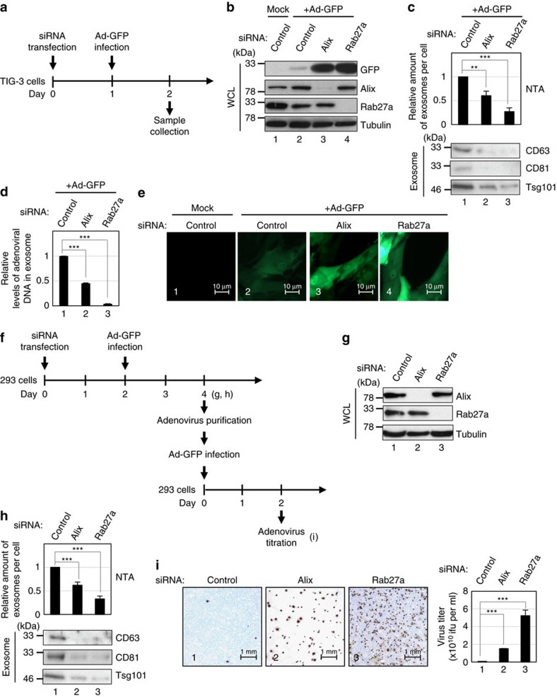 Exosome secretion prevents viral hijacking of cellular machinery. ( a ) Timeline of the experimental procedure. ( b – e ) Pre-senescent TIG-3 cells transfected with indicated siRNA oligos followed by infection with recombinant adenovirus encoding GFP (Ad-GFP) were subjected to western blotting using antibodies shown right ( b ), NanoSight analysis (NTA) and western blotting against canonical exosome markers for quantitative measurement of isolated exosome particles ( c ), quantitative measurement of isolated adenoviral DNA from exosome using quantitative PCR ( d ), or to microscopic analysis of GFP expression ( e ). The representative data from three independent experiments are shown. ( f ) Timeline of the experimental procedure. ( g – i ) 293 cells were transfected with indicated siRNA oligos followed by infection with Ad-GFP. These cells were then subjected to western blotting using antibodies shown right ( g ), NanoSight analysis (NTA) and western blotting against canonical exosome markers for quantitative measurement of isolated exosome particles ( h ) or to titration of generated Ad-GFP ( i ). The histograms indicate the virus titre ( i ). For all graphs, error bars indicate mean±s.d. of triplicate measurements. (** P