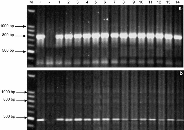 PCR products of chi26 (800 bp) ( a ) and bar (400 bp) ( b ) genes from the 14 independent T0 transgenic lines (CHI 1, CHI 3, CHI 6, CHI 7, CHI 9, CHI 10, CHI 14, CHI 16, CHI 20, CHI 22, CHI 30, CHI 47, CHI 50, and CHI 71, lanes 1–14 , respectively). M: Quick-Load ® 100 bp DNA Ladder (New England Biolabs), +: positive control (pBarley/chi/bar), −: negative control (non-transgenic, cv. Hi-Line)