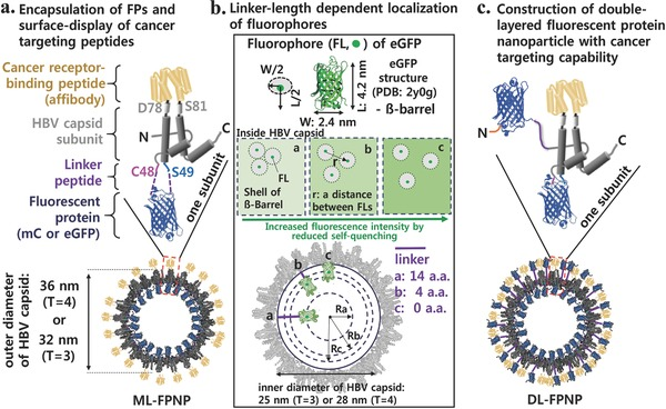 Genetic encapsulation and assembly to produce fluorescently engineered HBV capsids with cancer targeting capability. a) Encapsulation of FPs surface‐display of cancer targeting peptides. b) Linker‐length dependent localization of fluorophores. c) Construction of double‐layered fluorescent protein <t>nanoparticle</t> with cancer targeting capability.