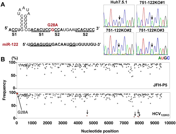 Identification of adaptive mutation in HCV 122KO . (A) Mutation of G28A in the 5'UTR of HCV was identified in all independently isolated HCV propagated in the three 751-122KO cell clones (751-122KO#1~#3). Arrows indicate the position of nt28 in the 5'UTR of HCV. Each RNA base is represented as a colored peak: A, green; U, red; G, black; and C, blue. (B) Frequency and distribution of SNV in HCV independently cultured in Huh7.5.1 (JFH-P5; top) and 751-122KO cell clones (bottom). Six independently isolated HCV 122KO viruses were obtained from three wells for each of two 751-122KO cell clones (751-122KO#1 and #2). Each sequence read was mapped to pHH-JFH1-E2p7NS2mt. Arrows indicate the detected substitutions.