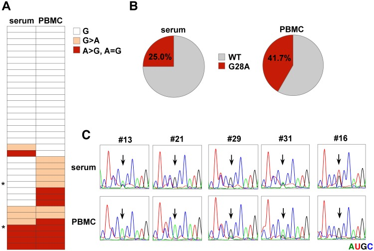 Detection of G28A mutation in HCV-RNA from the serum or PBMCs of gt2 patients. (A) Characterization of the nucleotide at nt28 from the serum and PBMCs of HCV gt2a patients. An asterisk indicates the samples from patients whose cases were complicated with hypothyroidism. (B) The ratio of samples between the WT and G28A from serum (left) or PBMCs (right). (C) Direct sequencing analysis. Viral RNA was purified from each PBMC or serum sample and subjected to sequencing analysis. Each RNA base is represented as a colored peak: A, green; U, red; G, black; and C, blue. Samples that included G28A (#13. #21, #29, #31) or G28U (#16) in either PBMCs or serum are shown.