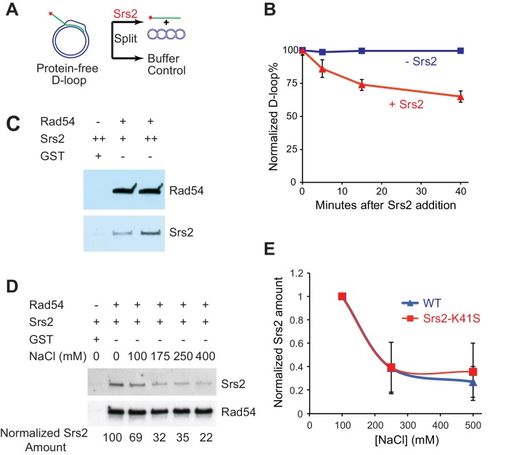 Srs2 disrupts Rad51/Rad54 reconstituted D-loops with higher efficiency than protein-free D-loops. ( A ) D-loop disruption assay using purified protein-free D-loops generated by Rad51 and Rad54. ( B ) Protein-free D-loops were split into buffer containing Srs2 or no protein and incubated at 30°C. Samples were taken at 0, 5, 15, and 40 min, and the final concentration of Srs2 is 15 nM. ( C ) GST-Rad54 physically interacts with Srs2. 17.5 nM GST-Rad54 or 175 nM GST were incubated with either 8.75 nM or 17.5 nM of Srs2 for 1 hr before pulldown. ( D ) The protein interaction between Rad54 and Srs2 is sensitive to increasing ionic strength. GST-Rad54 and Srs2 were formed in buffer containing 0, 100, 175, 250, or 400 mM NaCl before pulldown. ( E ) Srs2-K41S interacts with Rad54 with similar salt sensitivity, compared to wild type Srs2. Both wild type Srs2 and Srs2-K41S were allowed to form complex with GST-Rad54 in buffer containing 0, 250, and 500 mM NaCl before pulldown. Plotted are means ± standard deviation from n = 3. In ( D ) and ( E ), 31.3 nM GST-Rad54 or 313 nM GST (GE Healthcare) were incubated with 31.3 nM of Srs2 or Srs2-K41S in the same buffer containing indicated amount of NaCl for 1 hr before pulldown. Pulldown Srs2 amount in buffer containing 0 mM NaCl was normalized to 100 ( D ) or 1 ( E ). DOI: http://dx.doi.org/10.7554/eLife.22195.012 10.7554/eLife.22195.013 Source data for Figure 3B . DOI: http://dx.doi.org/10.7554/eLife.22195.013 10.7554/eLife.22195.014 Source data for Figure 3E . DOI: http://dx.doi.org/10.7554/eLife.22195.014