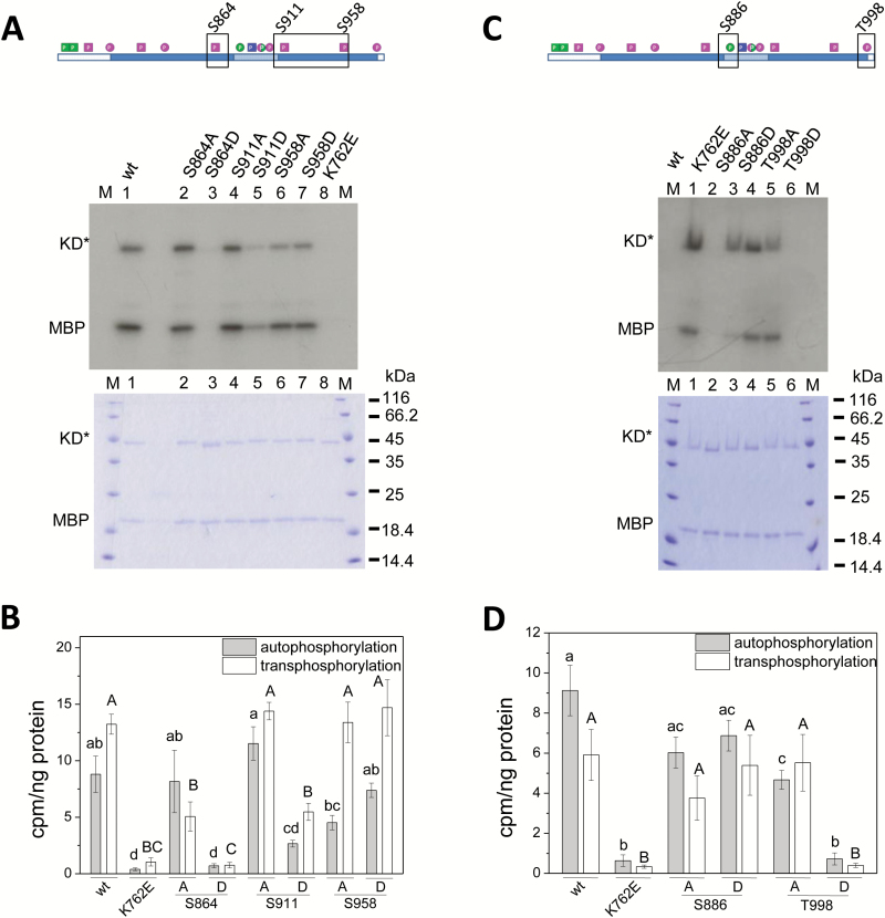 Differential impact of phosphosites in the C-lobe and at the CT on PSKR1 kinase activity. The boxed residues (A, C; top) in the N-lobe of PSKR1-KD were point-mutated to either A or D, and kinase activity was compared to the wild-type and to the inactive K762E isoform. (A, C) The kinase isoforms (0.25 µg) were incubated with 32 P-ATP and 0.5 µg of the substrate MBP. The autoradiograph (top) shows auto- and transphosphorylation activities. A Coomassie-stained gel (bottom) shows loading of KD* and MBP, and M indicates the size marker in kDa. (B, D) 32 P incorporated in PSKR1-KD and MBP was quantified and analyzed as described in the legend for Fig.2B and 2D . Significantly different values are indicated by different lower case letters for autophosphorylation and with capital letters for transphosphorylation (Kruskal–Wallis, P