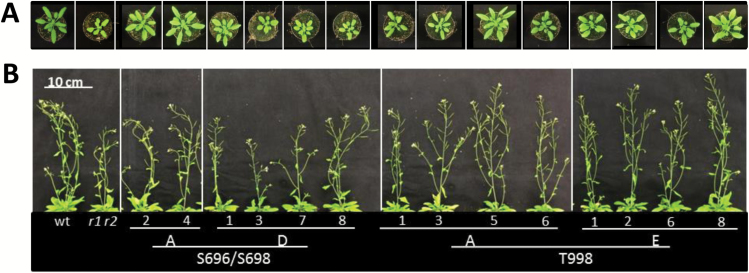 Phosphorylation in the JM domain and at the CT impair shoot growth. The full-length PSKR1 receptor was mutated as indicated and introduced into the pskr1-3 pskr2-1 receptor null background. Plants were grown on soil for (A) 4 weeks to measure rosette areas, and (B) for 6 weeks to measure plant height. The numbers indicate independently transformed lines. (This figure is available in color at JXB online.)