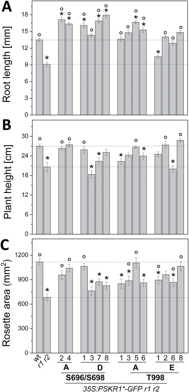 Phosphorylations at the JM domain and CT differentially affect PSKR1 receptor activity in roots and shoots. Full-length PSKR1 receptor isoforms as indicated were expressed in the pskr1-3 pskr2-1 receptor null background, with different numbers indicating independent lines. (A) Length of main root of 5-d-old seedlings grown under sterile conditions ( n =35–94). (B) Plant height of 6-week-old soil-grown plants ( n =18–27). (C) Projected rosette area of 4-week-old soil-grown plants ( n =19–27). Values are means from three independent biological experiments. Significant differences compared to the wild-type (wt) are indicated by * and significant differences compared to pskr1-3 pskr2-1 ( r1 r2 ) are indicated by ° (Kruskal–Wallis with Dunn's test as post-hoc ; P