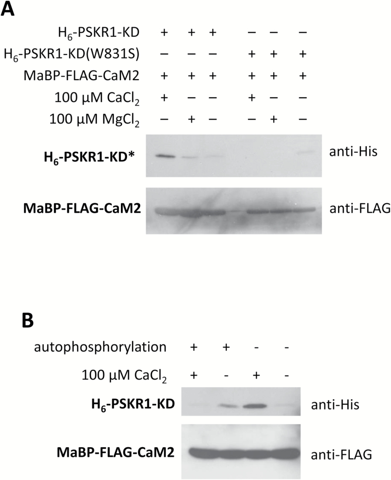 Binding of CaM2 to PSKR1-KD is Ca 2+ -dependent and determined by the phosphorylation state of PSKR1-KD. (A) Western blots with His-tagged (H 6 ) PSKR1-KD (H 6 -PSKR1-KD) or H 6 -PSKR1-KD(W831S) that was bound by maltose binding protein (MaBP)-tagged and FLAG-tagged CaM2 (MaBP-FLAG-CaM2) in the presence of 100 µM CaCl 2 or 100 µM MgCl 2 or without divalent cation. (B) H 6 -PSKR1-KD was incubated with ATP to allow for autophosphorylation or left unphosphorylated prior to pull-down with MBP-FLAG-CaM2 in the presence or absence of 100 µM Ca 2+ . Blots are shown in greyscale and were uniformly adjusted in contrast (–20%) and brightness (+40%). Results were confirmed in independent experiments.