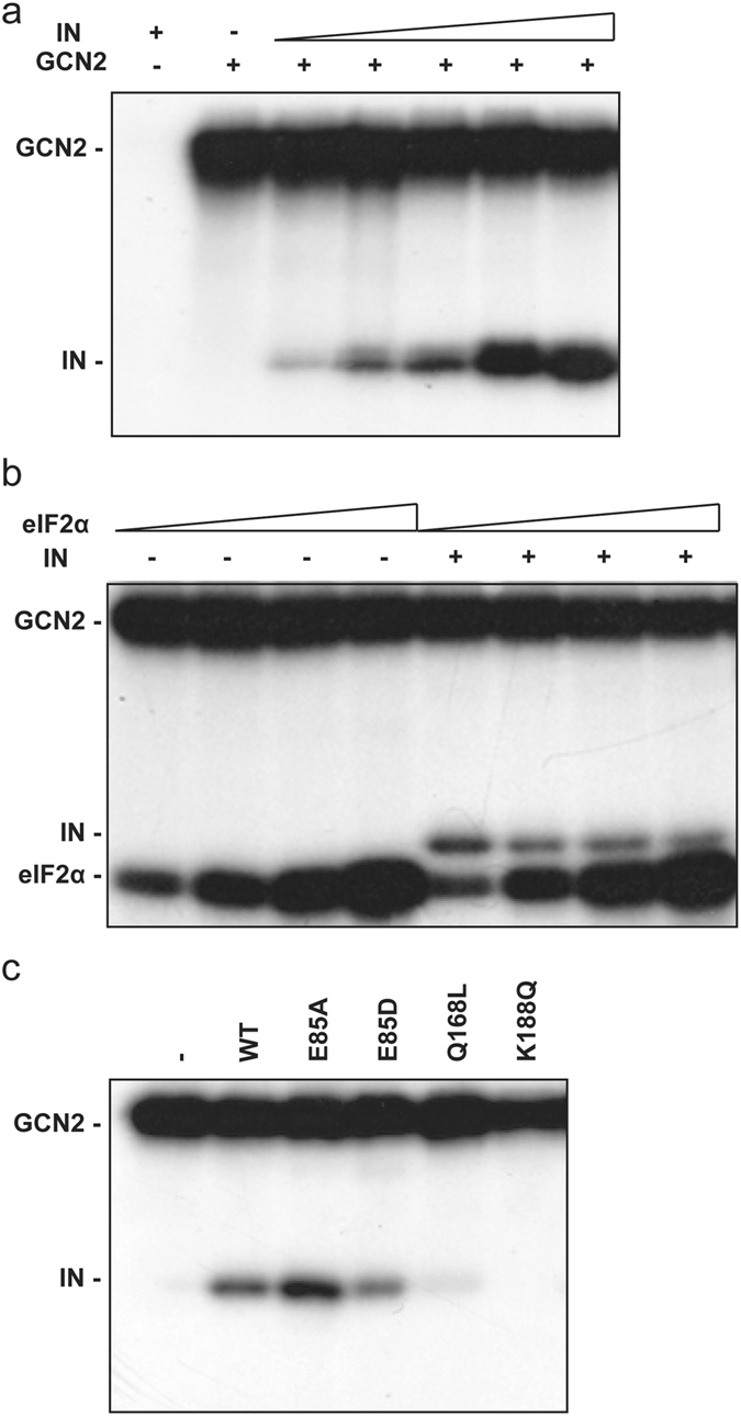 GCN2 in vitro phosphorylation assay. ( a ) Phosphorylation of HIV-1 IN catalyzed by GCN2. Lane 1, HIV-1 IN (2000 nM) alone. Lane 2 to 7, GCN2 (24 nM) was incubated with [γ- 32 P]-ATP and increasing concentrations of HIV-1 IN (0, 100, 225, 450, 1000, 2000 nM). ( b ) Competition assay. GCN2 phosphorylation of increasing concentrations of eIF2α (from 100 nM to 800 nM following a 2-fold increment) with radiolabeled [γ- 32 P]-ATP, in the presence or not of HIV-1 IN (2 µM). ( c ) Impact of HIV-1 IN oligomerization on phosphorylation by GCN2. Lane 1, no IN. Lanes 2 to 6, HIV-1 IN WT or mutants (700 nM).