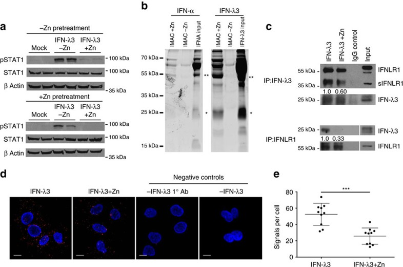 Zinc inhibits <t>IFN-λ3:IFNLR1</t> binding. ( a ) To ascertain the cellular location of zinc inhibition following ZnSO 4 treatment, Huh-7 cells were pre-treated for 24 h with 50 μM ZnSO 4 , washed thoroughly, and then treated with IFN-λ3 ±50 μM ZnSO 4 for 15 min. STAT1 phosphorylation was significantly inhibited only when IFN-λ3 was administered in the presence of zinc, suggesting that zinc inhibits IFN-λ3 signalling at the receptor. ( b ) To identify cytokine zinc binding, 200 ng of IFN-α or IFN-λ3 were added to a zinc loaded <t>IMAC-affinity</t> resin for 2 h, after which bound protein was examined by SDS–PAGE. Dimeric forms of IFN-α and IFN-λ3 bound the zinc resin, as did monomeric IFN-λ3. ( c ) Using protein G beads, Co-IP was performed on Huh-7 cell lysates using recombinant IFN-λ3 alone or with the addition of 50 μM ZnSO 4 . Co-IP of both IFN-λ3 (66% reduction) and IFNLR1 (40% reduction) was reduced in the presence of zinc, when IFNLR1 and IFN-λ3 were immunoprecipitated respectively, demonstrating a direct inhibition of receptor:cytokine interaction by zinc. ( d ) Co-IP studies were confirmed using proximity ligation assays to examine the interaction of IFN-λ3 and IFNLR1 in the presence of zinc in situ . Confocal microscopy of IFN-λ3 treated Huh-7 cells demonstrated a reduction in fluorescent signals (red fluorescent spots), indicative of IFNLR1:IFN-λ3 interaction (within 40 nm). No signal was observed within the negative control assay lacking the primary IFN-λ3 antibody (1° Ab) or lacking the addition of IFN-λ3. ( e ) Proximity ligation signals per cell were quantified using ImageJ software, demonstrating a 50% decrease in IFNLR1:IFN-λ3 interactions per cell (Mann–Whitney test). ( d ) Scale bars, 10 μm. Data are representative of two independent experiments, *** P