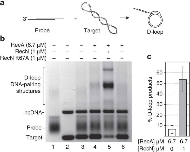 RecN stimulates RecA-dependent D-loop formation. ( a ) Schematic of RecA-dependent D-loop reaction. RecA filaments formed on the linear duplex plasmid DNA substrate containing 150-nucleotide (nt) 3′-ssDNA overhangs (probe) promote strand invasion within the 2.4 kb, homologous, supercoiled plasmid DNA (target). RecA exchanges the homologous strands forming D-loop structures. These descriptions, probe, target and D-loop, reflect the agarose gel labels used here and in subsequent figures. ( b ) RecA (6.7 μM) was incubated with 20 μM probe DNA for 10 min. ATP (3 mM) and 1 μM RecN or RecN K67A mutant, as indicated at the top of each lane, were incubated for an additional 10 min before starting the reaction with the addition of 20 μM homologous target DNA. All reactions were incubated for 45 min. ( c ) Quantification of amount of D-loop-pairing structures formed by 6.7 μM RecA protein in 45 min in the presence or absence of 1 μM RecN protein. The D-loop products are defined as the sum of all DNA band intensities in a particular lane that correspond to the mobility of the D-loop DNA-pairing structures identified in b that were detected by the TotalLab gel quantification software. This sum was divided by the sum of all band intensities (except the band corresponding the ncDNA) in the same lane. Error bars represent the s.d. of six independent experiments.