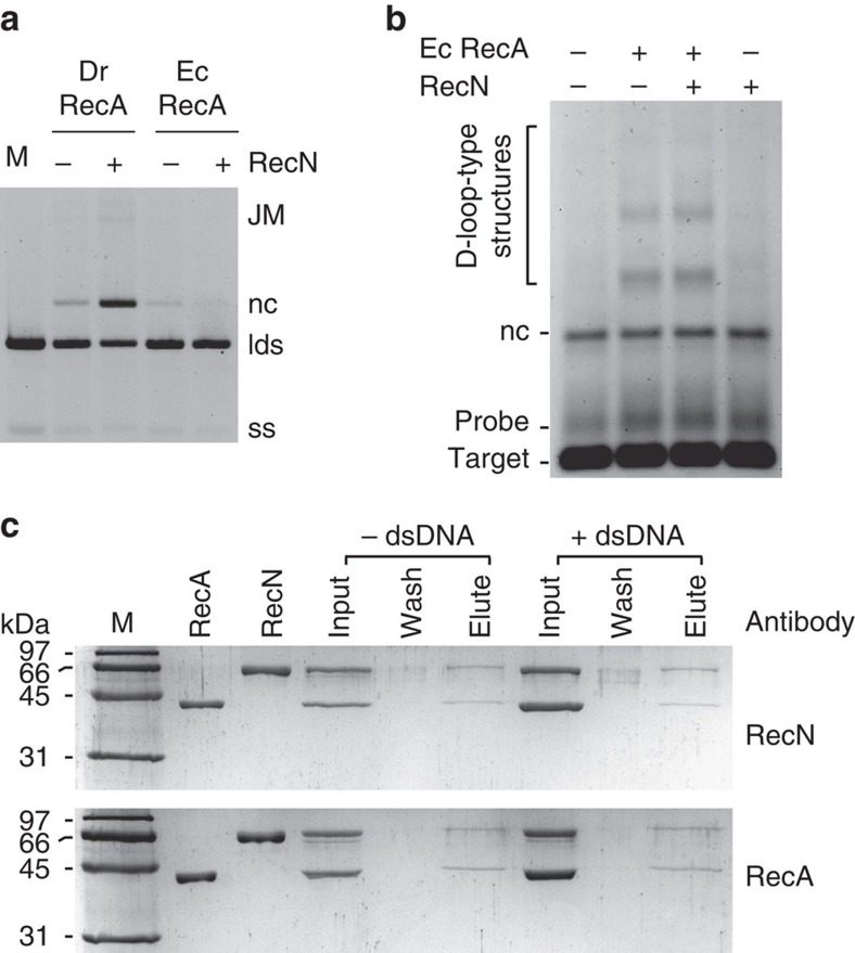 RecA and RecN proteins interact. ( a ) The D. radiodurans (Dr) or E. coli (Ec) RecA protein (0.4 μM) was incubated with 1 μM circular <t>ssDNA</t> (ss) for 10 min. ATP (3 mM), RecN (0.5 μM, where indicated) and 0.08 μM SSB were added and incubated for an additional 10 min. The reaction was initiated by the addition of 2 μM homologous duplex <t>DNA</t> (lds). All reactions were incubated for 45 min after lds addition except for M. The reaction of the control lane (M) was immediately stopped after lds addition. DNA was recovered from the reaction before gel electrophoresis (see Methods). This experiment was repeated three times with similar results. We observed no measurable difference in experiments with EcRecA+or −DrRecN protein. Quantification of RecN stimulation of DrRecA DNA stand exchange under these conditions is included in Fig. 2c . ( b ) EcRecA (6.7 μM) was incubated with 20 μM probe DNA for 10 min. ATP (3 mM) and 1 μM RecN, as indicated at the top of each lane, were added and incubated for an additional 10 min. The reactions were initiated by the addition of 20 μM target DNA. All reactions were incubated for 45 min. See Fig. 2 for target and probe DNA description. This experiment was repeated three times with no measurable difference between + and – RecN conditions. ( c ) Purified D. radiodurans RecA (38 kDA) and RecN (60 kDa) proteins co-elute, in the presence (+dsDNA) or absence (−dsDNA) of linear duplex DNA, from a RecN antibody-coupled resin (top) or from a RecA antibody-coupled resin (bottom). Lane M indicates a protein size marker. The input lanes contain an 8 μl load of a mixture of 0.12 μg RecN per μl and 0.08 μg RecA per μl. Excess protein complex was removed during the early wash steps, and 8 μl of the final 50 μl wash and 8 μl of the 50 μl elution were loaded directly onto the gel.