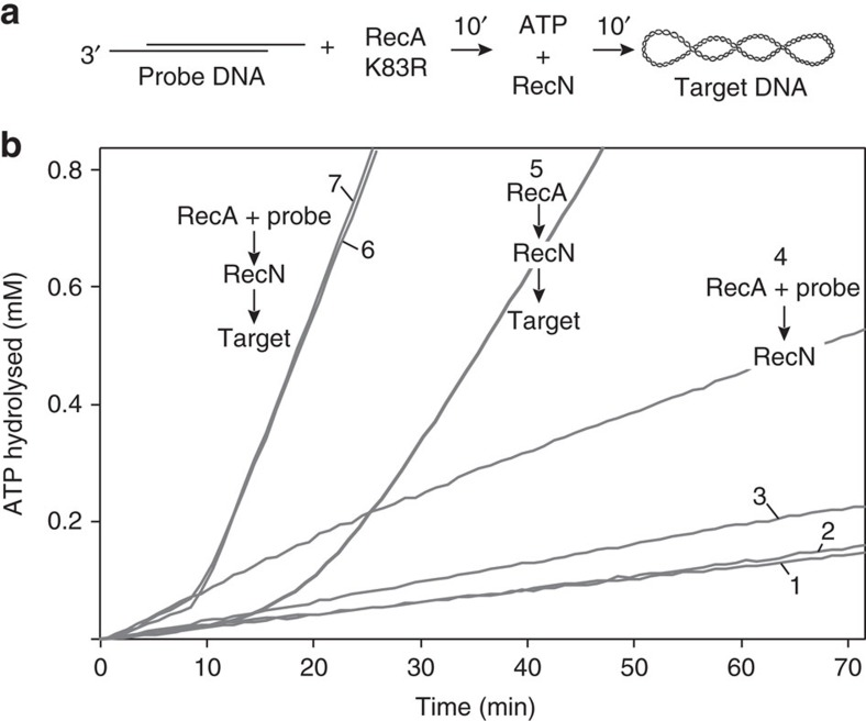 The stimulation of RecN ATPase by RecA protein under D-loop assay conditions is not homology-dependent. ( a ) Schematic of reaction assembly used to monitor RecN ATPase during RecA-dependent D-loop formation. RecA K83R (3.4 μM where indicated) was incubated with probe DNA (see Fig. 2 legend) for 10 min before the addition of 3 mM ATP and RecN (1 μM where indicated). Target DNA (see Fig. 2 legend) was added 10 min later. For each reaction described, components omitted from reactions were compensated for by protein storage buffers or TE, in the case of DNA. All reactions were carried out under buffer A conditions and followed the reaction scheme shown. ATP hydrolysis was measured after the addition of ATP. ( b ) Controls measuring RecN ATP hydrolysis in the absence of RecA K83R are shown with 10 μM probe DNA and no target DNA (reaction 1), no probe DNA and 10 μM target DNA (reaction 2), and 10 μM probe DNA plus 10 μM target DNA (reaction 3). Reaction 4: RecN ATP hydrolysis when RecA K83R protein was incubated with 10 μM probe DNA in the absence of added target DNA. Reaction 5: RecN ATP hydrolysis when RecA K83R protein was incubated in the absence of probe DNA followed by 10 μM target DNA. Reaction 6: RecN ATP hydrolysis when RecA K83R protein was incubated with 10 μM probe DNA followed by 10 μM target DNA. Reaction 7: RecN ATP hydrolysis when RecA K83R protein was incubated with 10 μM probe DNA followed by 10 μM non-homologous, supercoiled RF1 φ X174 DNA. See Table 2 for steady-state RecN ATP hydrolysis rates.