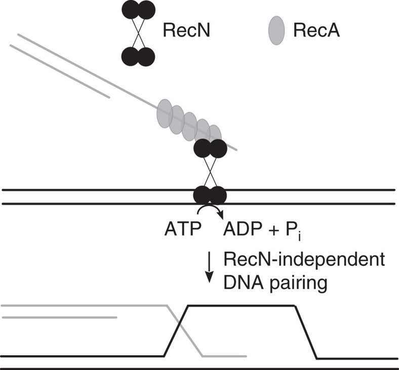 Model for the role of RecN in the stimulation of the RecA strand invasion step of DNA DSB repair. RecN interacts with RecA bound to a ssDNA region of one DNA molecule and with a target duplex DNA molecule. In vitro , this scenario leads to a relatively high rate of ATP hydrolysis by the RecN protein. One possible function of RecN ATP usage is the movement of the complex along or between potential target DNA molecules as part of a global search for homology. Alternatively, RecN protein may be affecting RecA–DNA filament dynamics and/or the topological state of the DNA, as discussed in the text.