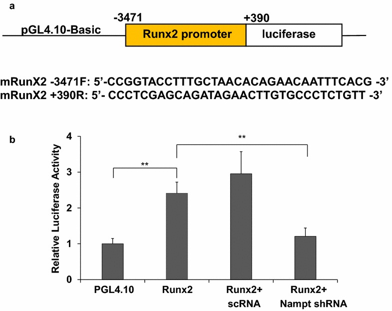 Regulative effects of Nampt on Runx2 transcription in MC3T3-E1 cell differentiation. MC3T3 cells were differentiated for 48 h and then co-transfected with pGL4.10-mRunX2pro firefly luciferase reporter (100 ng), pGL4.75 Renilla reporter (4 ng) and either 100 µM of scrambled RNA or Nampt shRNA using Lipofectamine 3000. Transfected MC3T3 cells were incubated for 24 h and luciferase activity was determined using Promega's Dual-Glo Luciferase Assay Kit. Background corrected firefly luminescence values were normalized with Renilla luminescence values. Relative luciferase activities were normalized against differentiated MC3T3 cells transfected with pGL4.10 empty vector. n = 4; Bars are mean ± SD. **p