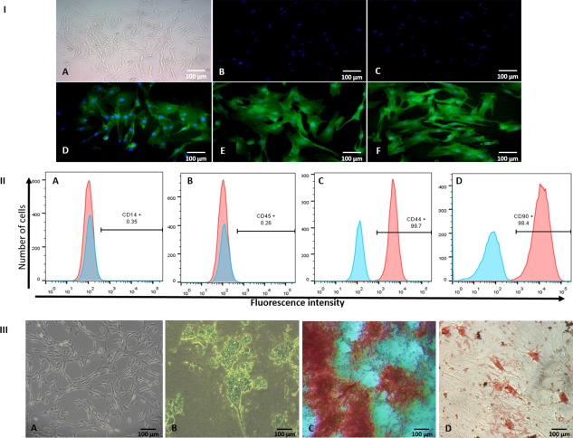 (I) : Characterization of adipose‐derived mesenchymal stem cells (AMSCs). (A) AMSCs showing fibroblastoid morphology in culture; immunostaining of MSCs showing negative staining for CD14 (B), CD45 (C), and positive staining for CD44 (D), CD90 (E), and CD105 (F). Cell nuclei were stained with DAPI. (II) : Immunophenotyping of AMSCs. Flow cytometry data showing no expression for CD14 (A), and CD45 (B), and high expression for the MSC markers CD44 (C), and CD90 (D). The blue peaks show the profile of the isotype control. Flow cytometry was done on a FACS Aria Flow Cytometry System (BD Biosciences). (III) : Multilineage differentiation of AMSCs in vitro. (A) AMSCs in culture with Dulbecco's modified Eagle medium before stimulation to differentiate into any of the lineages. (B) Alcian blue staining of AMSCs culture after 20 days of stimulation with chondrogenic differentiation medium. (C) Alizarin red S staining of AMSCs culture after 15 days of stimulation with osteogenic differentiation medium. (D) Oil red O staining of AMSCs culture after 20 days of stimulation with adipogenic differentiation medium. Abbreviation: CD, cluster of differentiation.