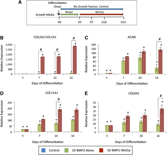 Sequential treatment with BMP‐2 followed by Wnt5a induces sustained expression of chondrocyte matrix markers under chondrogenic conditions. (A): Schematic shows treatment conditions for in vitro chondrogenic differentiation of H9‐MSCs. (B–E): Expression data based on quantitative polymerase chain reaction analyses of cartilage matrix genes in treatment groups from differentiating H9‐derived mesenchymal stem cell (MSC) pellets cultured for 5 days in 100 ng/ml BMP‐2 followed by up to 9 days of no growth factor treatment (5D BMP2‐Alone) or sequential treatment with 50 ng/ml Wnt5a (5D BMP2‐Wnt5a): ratio of COL2A1:COL1A1 (B) , ACAN (C) , COL11A1 (D) , and expression of COL9A1 (E) . Values greater than 1.0 represent a fold‐change increase in gene expression, and those less than 1.0 indicate a relative decrease in expression in comparison with the undifferentiated H9‐derived MSCs (day 0). ∗, p