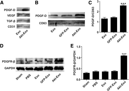 PDGF‐D/PDGFR is involved in Akt‐Exo‐mediated improvement of myocardial repair. (A): Representative images of Western blot on the expression of VEGF, CD31, PDGF‐D, and TGF‐β in exosomes. (B, C): Western blot of the expression of PDGF‐D (B) and semiquantitative ratio of PDGF‐D to CD63 (C) . (D, E): Representative images of Western blot of the expression of PDGFR‐β in myocardium (D) and semiquantitative data of PDGFR‐β to GAPDH (E) . ∗∗∗, p
