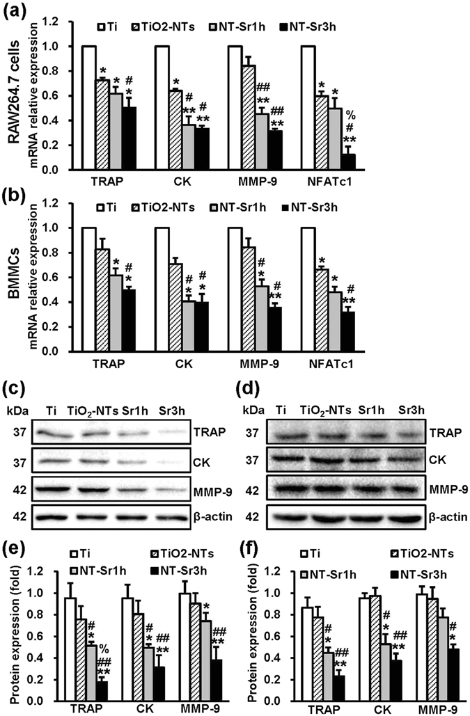 NT-Sr repress osteoclast-specific genes. RAW264.7 cells ( a ) and mouse BMMCs ( b ) were cultured on different samples and induced with 50 ng/mL RANKL and 30 ng/mL M-CSF (for BMMCs), and the total RNA was then collected. The relative mRNA expression levels of osteoclast-specific genes (TRAP, CK, MMP-9, and NFATc1) were assessed by qRT-PCR. For total protein extraction, RAW264.7 cells ( c , e ) and mouse BMMCs ( d , f ) were cultured on different samples in the presence of RANKL (50 ng/mL) and M-CSF (30 ng/ml, for BMMCs). The protein expression of osteoclast markers (TRAP, CK, and MMP-9) was then detected by immunoblotting. An antibody to β-actin was used as a loading control. A quantitative analysis of the band densities was performed, and the band densities were normalised to the loading control. Full-length blots are presented in Supplementary Figure 2 . Sr1h and Sr3h represent NT-Sr1h and NT-Sr3h, respectively. * , **p