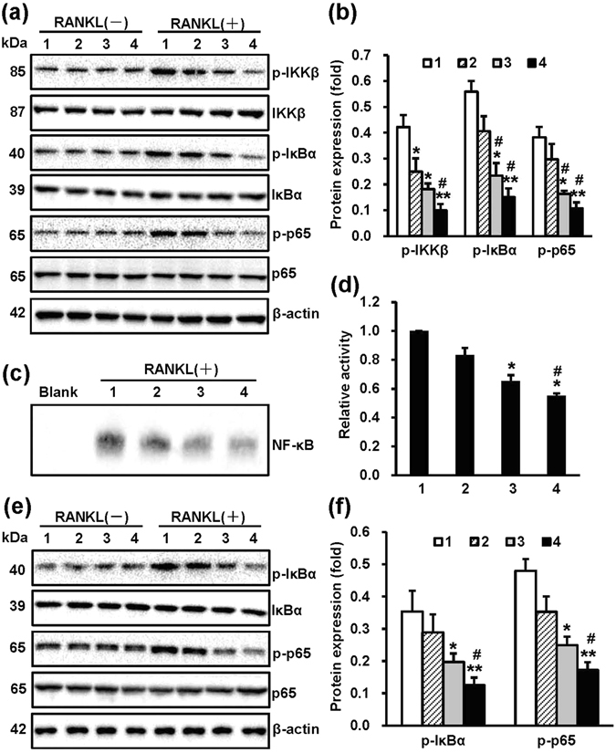 NT-Sr inhibit RANKL-induced NF-κB activation. After RAW264.7 cells ( a , b ) and mouse BMMCs ( e , f ) were cultured on different samples for 3 d, the cells were stimulated with or without 100 ng/mL RANKL for 30 min, and the total proteins were extracted for western blot analysis. The expression of proteins in the NF-κB pathway and the levels of p-IKKβ, p-IκBα, and p-NF-κBp65 were detected. Antibodies against β-actin, total IKKβ, IκBα, and NF-κBp65 were used as loading controls. A quantitative analysis of the band densities was performed, and the band densities were normalised to the loading controls. RAW264.7 cells ( c , d ) were cultured on different samples for 3 d and stimulated with 100 ng/mL RANKL for 30 min. The nuclear extracts were then collected, and the DNA-binding activity of NF-κB was detected by electrophoretic mobility shift assay (EMSA). A quantitative analysis of the band densities was performed, and the band densities were normalised to the loading controls. Full-length blots are presented in Supplementary Figure 3 . p-p65 and p65 represent p-NF-κBp65 and NF-κBp65, respectively; and the numbers 1, 2, 3 and 4 in the figure represent Ti, TiO 2 -NTs, NT-Sr1h and NT-Sr3h, respectively. * , **p