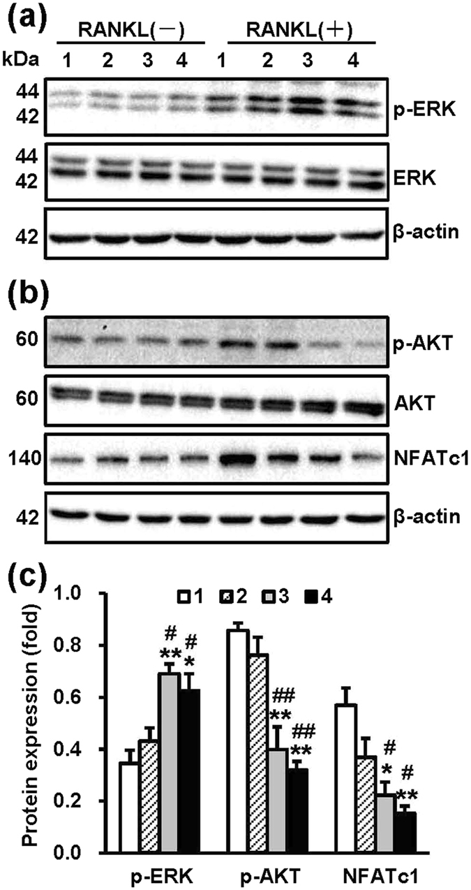 NT-Sr promote RANKL-induced phosphorylation of ERK and inhibit the Akt/NFATc1 pathway. RAW264.7 cells were cultured on different samples for 3 d and stimulated with or without 100 ng/mL RANKL for 30 min, and the total protein was then collected for immunoblot analysis. ( a ) RANKL-induced phosphorylation of ERK, ( b ) p-Akt and NFATc1 were detected using <t>β-actin,</t> total ERK and Akt as loading controls. ( c ) A quantitative analysis of the band densities was performed, and the band densities were normalised to the loading controls. Full-length blots are presented in Supplementary Figure 4 . The numbers 1, 2, 3 and 4 in the figure represent Ti, TiO 2 -NTs, NT-Sr1h and NT-Sr3h, respectively. * , **p