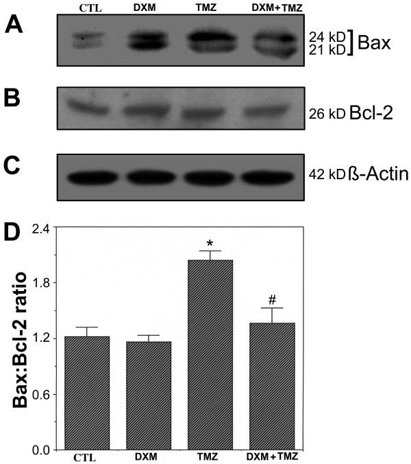 The Bax:Bcl-2 ratio measured by Western blot analysis. Four treatment groups: control (CTL); 40 μM dexamethasone (DXM) for 8 h; 100 μM temozolomide (TMZ) for 6 h; pretreatment with 40 μM DXM for 2 h followed by 100 μM TMZ for 6 h. (A) A representative gel picture showing level of expression of Bax. (B) A representative gel picture showing level of expression of Bcl-2. (C) A representative gel picture showing level of expression of β-actin. (D) Densitometric analysis showing the Bax:Bcl-2 ratio in all treatment groups. Significant difference between CTL and TMZ treated cells was indicated by * ( P ≤ 0.05) and significant difference between TMZ treated cells and DXM plus TMZ treated cells was indicated by # ( P ≤ 0.05).