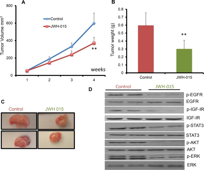 JWH-015 suppresses ERα- breast cancer growth in vivo by inhibiting EGF/EGFR and IGF-I/IGF-IR signaling pathways A. Tumor volume measurements of orthotopically injected nude mice with SUM159 cells were assessed every week for control and treated groups. B. Tumor weight of vehicle-treated or JWH-015-treated nude mice was determined at the euthanasia day. C. Representative photographs showing tumors dissected from control and treated groups. D. Western blot images of the tumor lysates of the control and treated groups showing the protein expression of phospho-EGFR, phospho-IGF-IR, phospho-STAT3 phospho-ERK and phosphor-AKT (p-EGFR, p-IGF-IR, p-STAT3, p-ERK and p-AKT) and total EGFR, IGF-IR, STAT3, ERK and AKT (EGFR, IGF-IR, STAT3, ERK and AKT).