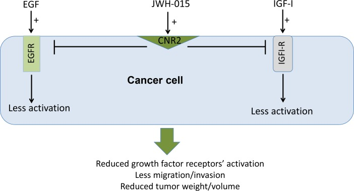 Schematic representation of the anti-tumor role of CNR2 activation in breast cancer Schematic representation of the direct anti-tumor role of CNR2 activation showing the possible cross-talk between CNR2 receptor and EGFR and IGF-IR.