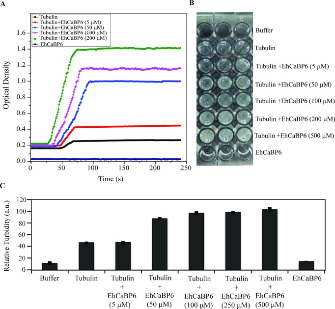 EhCaBP6 modulates microtubule dynamics in a dose dependent manner. (A) The tubulin polymerization assay was performed with porcine tubulin at a final concentration of 5 μM in the presence of varying concentration of EhCaBP6. EhCaBP6 efficiently enhanced rate of polymerization subsequently affecting the total amount of polymerized microtubules. The light scattering experiment was repeated thrice in triplicates and the representation is an average of three independent run. (B) Image of the plate post tubulin polymerization light scattering experiment showing gradual increase in turbidity with increase in EhCaBP6 concentration as compared to Buffer alone, EhCaBP6 alone or Tubulin alone. (C) Densitometry analysis of the turbidity using AlphaEaseFc software. The reading was exported and plot in Microsoft Excel. The average value of three independent experiments has been represented graphically.