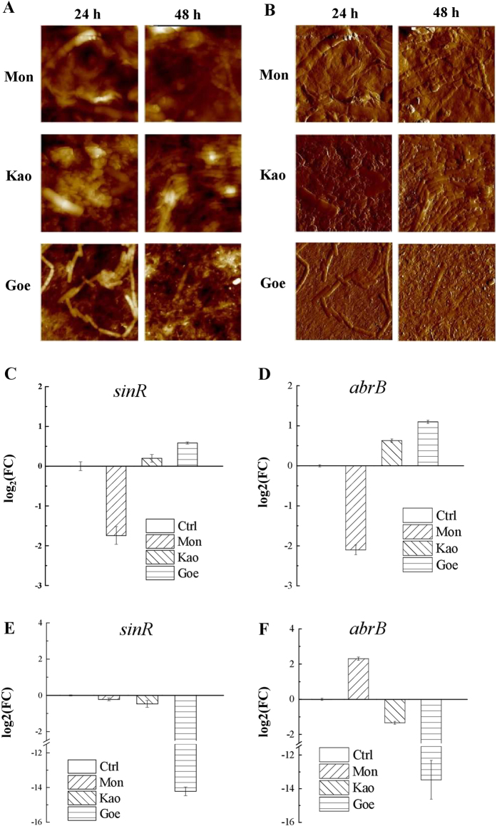 Contact of minerals and bacteria cells, and the resulting gene experssion changes. AFM height ( a ) and peak force images ( b ) of B. subtilis biofilm formed on mineral surfaces after 24 and 48 h (20 × 20 μm 2 ). Top panel : B. subtilis on montmorillonite-coated surface (Mon); Middle panel : B. subtilis on kaolinite-coated surface (Kao); Bottom panel : B. subtilis on goethite-coated surface (Goe). c – f : Quantitative expression analyses of the sinR ( c , e for 24, 48 h, respectively) and abrB ( d , f for 24, 48 h, respectively) genes. Both of the genes are critical regulators that involved in the regulation of B. subtilis biofilm formation and cell motility