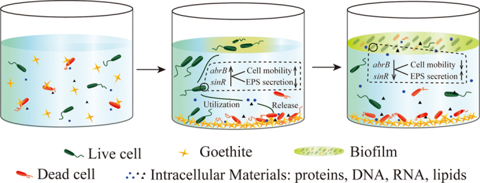 Proposed model for the effects of goethite on B. subtilis biofilm formation. Bacteria interact with goethite in suspension and the adsorption to goethite of bacteria can induce cell damage or death ( left panel ). Live cells utilize the intracellular materials released by damaged or dead cells. In response to lethal stress, the abrB and sinR genes, which are the key to the transformation of bacilli between biofilm and free-living mode-of-life, are upregulated and this increase cell mobility and inhibit EPS secretion. In order to avoid damage of goethite, bacteria prefer to move to air–liquid interface ( middle panel ). As bacteria aggregate on the air–liquid interface, both abrB and sinR are downregulated, which decreases cell mobility and increases EPS secretion, and the biofilm is formed rapidly ( right panel )