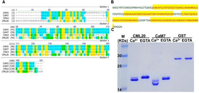 CML20, a calmodulin-like protein, is able to bind Ca 2+ . (A) Amino acid sequence alignment between CML20 and its homologs CAM2, CAM7, and CML9. (B) The amino acid sequence of CML20. The Ca 2+ -binding EF-hand motifs are highlighted in yellow. (C) The SDS-PAGE mobility shift assay showing that CML20 and CaM7 bind to Ca 2+ . GST was used as a negative control. The left-hand lane contains a protein size marker.