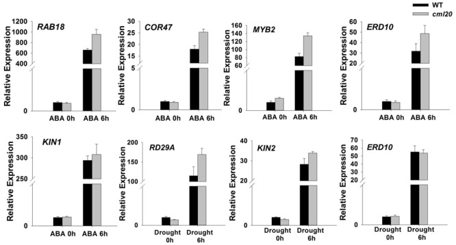 The transcription of the indicated stress-responsive genes was altered in the cml20 mutant. RAB18, COR47, MYB2 and ERD10 were up-regulated by exposure to 50 μM ABA for 6 h. RD29A and KIN2 were up-regulated by exposure to drought stress for 6 h. ACTIN2 was used as the internal control. Error bars represent the SE ( n = 3).
