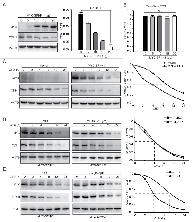 SPHK1 promotes the lysosomal degradation of CDH1. (A) SPHK1 decreased the expression of CDH1. Cells were transfected with the indicated concentrations of MYC-SPHK1 or vector and protein lysates were analyzed by immunoblotting with the indicated antibodies. (B) SPHK1 did not affect the level of CDH1 mRNA in HepG2 cells. Cells were transfected with the indicated concentrations of MYC-SPHK1 or vector, and total RNA was isolated. CDH1 mRNA was analyzed by fluorescent quantitative RT-PCR, as indicated in Materials and Methods. (C) SPHK1 inhibits the degradation of CDH1 in HepG2 cells. HepG2 cells stably expressing vector or MYC-SPHK1 were transfected with pCMV6-CDH1 for 24 h and then treated with CHX (20 μmol/L) for the indicated times. The cell lysates were detected by western blotting using an anti-CDH1 antibody. (D) SPHK1 did not affect the proteasomal degradation of CDH1. HepG2 cells were transfected with pCMV6-CDH1 for 24 h. Cells were treated with MG132 (10 μmol/L) for 2 h, and then also treated with CHX for the indicated times. Immunoblotting was performed with the indicated antibody. (E) SPHK1 accelerated the lysosomal degradation of CDH1. Cells were transfected with pCMV6-CDH1 for 24 h. HepG2 cells were treated with CQ (100 μmol/L) for 12 h, and then CHX was added for the indicated times. Immunoblotting was performed with the indicated antibody. Data are presented as the mean ± SE (n = 4). NS, nonsignificant; CHX, cycloheximide; CQ, chloroquine.
