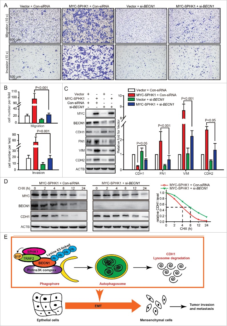 SPHK1 induces the EMT by stimulating BECN1 in HepG2 cells. (A, B) Silencing BECN1 blocked cell migration and invasion in SPHK1-overexpressing cells. HepG2 cells stably expressing vector or MYC-SPHK1 were transfected with control-siRNA or si- BECN1 and plated in the upper chamber of the filters for 24 h. Then cells migrating to the underside of the transwell insert were counted. (C) SPHK1 overexpression regulated the expression of EMT-related markers through stimulating BECN1. HepG2 cells stably expressing vector or MYC-SPHK1 were transfected with control-siRNA or si- BECN1 for 24 h and then harvested for cell lysate extraction. The level of epithelial or mesenchymal markers was detected by western blot analysis. (D) Silencing BECN1 blocked the degradation of CDH1 in SPHK1-overexpressing cells. HepG2 cells stably expressing MYC-SPHK1 were cotransfected with pCMV6-CDH1 and si- BECN1 (or control-siRNA) for 24 h and then treated with CHX (20 μmol/L) for the indicated times. The cell lysates were analyzed by western blotting using an anti-CDH1 antibody. (E) Schematic diagram of the mechanism of SPHK1-mediated autophagy and lysosomal CDH1 degradation that stimulates the EMT in HepG2 cells. Con-siRNA, control-siRNA.