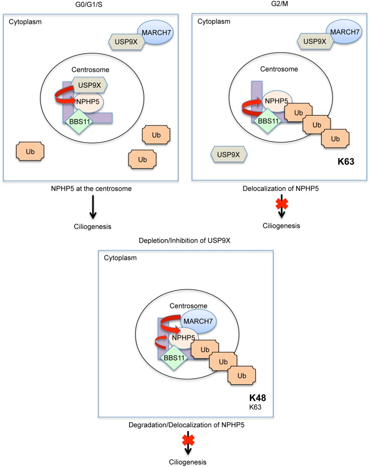 Model depicting the role of ubiquitination and deubiquitination in controlling NPHP5-mediated ciliogenesis. (Top left) In the G0/G1/S phase, a pool of cytoplasmic USP9X is recruited to the centrosome by NPHP5. MARCH7 is held in the cytoplasm by USP9X, whereas BBS11 is localized to the centrosome. Because centrosomal USP9X actively deubiquitinates NPHP5, NPHP5 is stabilized and cilia assembly is favoured. (Top right) In the G2/M phase, USP9X dissociation from the centrosome makes NPHP5 prone to ubiquitination. NPHP5 undergoes K63-ubiquitination by BBS11 and becomes delocalized, and cilia disassembly is favoured. MARCH7 is sequestered by USP9X in the cytoplasm at G2. MARCH7 goes to the centrosome in mitosis, but NPHP5 is already delocalized. (Bottom) When USP9X is depleted or inhibited, NPHP5 is prone to ubiquitination. MARCH7 becomes aberrantly translocated to the centrosome wherein it K48-ubiquitinates NPHP5. BBS11 can K63-ubiquitinate NPHP5 at the same time. As a result, NPHP5 is degraded and delocalized, and cilia disassembly is favoured.