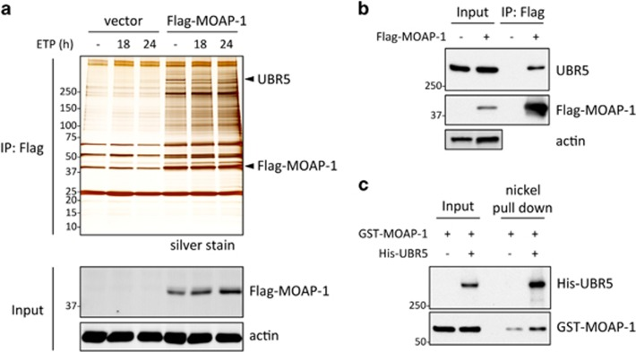 UBR5 is identified as a novel interacting factor of MOAP-1. ( a ) Flag-MOAP-1 was transfected into 293T cells, treated with or without 100 μ M of etoposide (ETP) for 18 or 24 h and lysates were prepared for co-immunoprecipitation (Co-IP) with Flag M2 agarose beads. Co-IP samples were applied for SDS–PAGE and proteins were visualized by silver staining (top). Whole-cell lysates were immunoblotted with Flag antibody for Flag-MOAP-1 (bottom). n =2 independent experiments. ( b ) Transfection was performed as in panel ( a ), and Co-IP samples with Flag beads were immunoblotted as indicated. n =3 independent experiments. ( c ) GST-MOAP-1 recombinant protein was incubated with or without His-UBR5 recombinant protein on ice for 4 h, and nickel beads were added and incubated for 45 min. Beads were washed with 0.5% TritonX-100 wash buffer for five times. The proteins were immunoblotted with UBR5 or MOAP-1 antibody. n =3 independent experiments. Molecular weight markers are in kDa.
