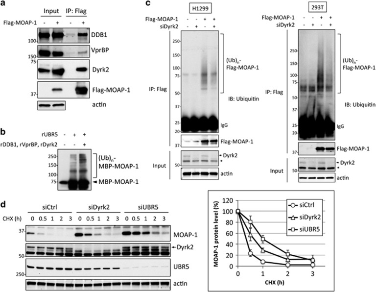 UBR5-containing EDVP E3 ligase complex interacts and regulates MOAP-1 ubiquitylation and stability. ( a ) Flag-MOAP-1 was transfected into 293T cells, and lysates were prepared 48 h posttransfection. Co-IP with Flag M2 agarose beads were performed and immunoblotted with antibodies as indicated. n =3 independent experiments. ( b ) In vitro ubiquitylation assay was performed as Figure 2d in the presence or absence of recombinant DDB1, VprBP and Dyrk2. n =3 independent experiments. Original uncropped image is shown in Supplementary Figure S6 . ( c ) siCtrl or siDyrk2 was transfected into H1299 or 293T cells, and Flag-MOAP-1 was transfected into each siRNA transfectant 24 h post-siRNA transfection. Cell lysates were prepared under denaturing condition; Flag-MOAP-1 was immunoprecipitated and immunoblotted with ubiquitin antibody. Same membrane was re-blotted with Flag antibody for Flag-MOAP-1. n =3 independent experiments. Asterisk in Dyrk2 blot indicates non-specific band. Quantification of MOAP-1 ubiquitylation is shown in Supplementary Figure S3B . ( d ) 293T cells transfected with siCtrl, siDyrk2 or siUBR5 were treated with CHX 48 h posttransfection. Cells were collected at the indicated times after CHX treatment, and lysates were prepared and immunoblotted as indicated (left). MOAP-1 protein level was quantified and plotted (right). The MOAP-1 abundance at 0 time point was set at 100%. n =4 independent experiments (means±s.e.m.). Molecular weight markers are in kDa.