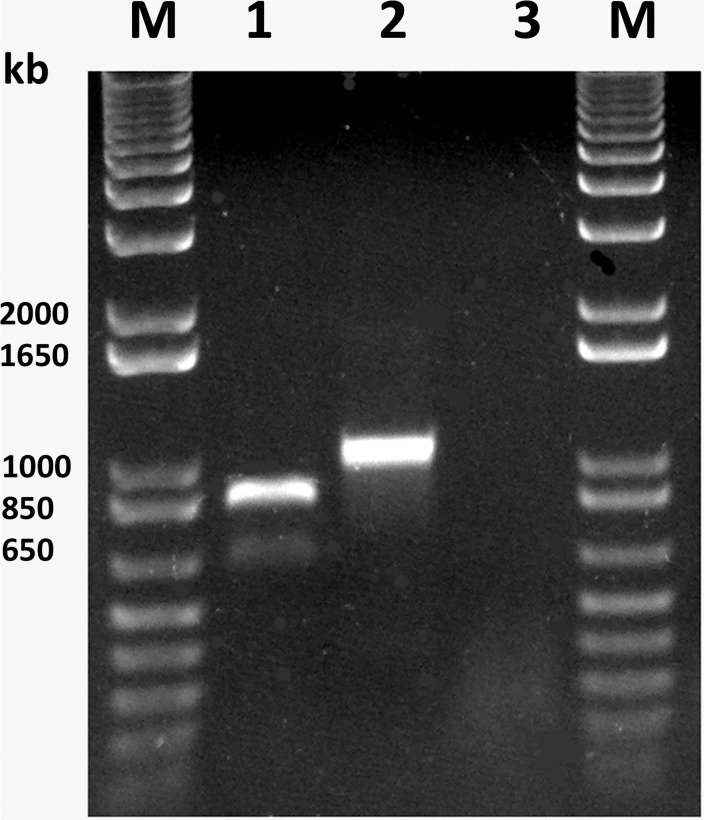 <t>RT-PCR</t> with total <t>RNA</t> extracted from the original alfalfa sample 98.3A. Lane 1, amplification with primers LN409/LN411, specific for the AVS coat protein. Lane 2, amplification with primers LN413/LN414, specific for the p38.4 protein. Lane 3, primers LN409/LN411 specific for the AVS coat protein were used, with RNA extracted from a healthy alfalfa plant. M, 1kb plus DNA ladder (ThermoFisher Scientific).
